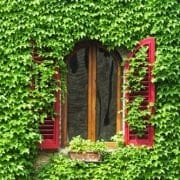 Florence-Window with ivy and shutters Certaldo
